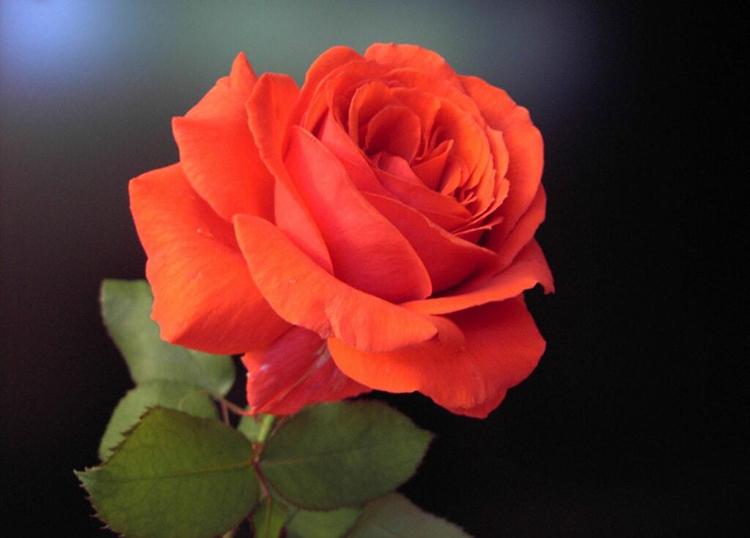 rose_750
